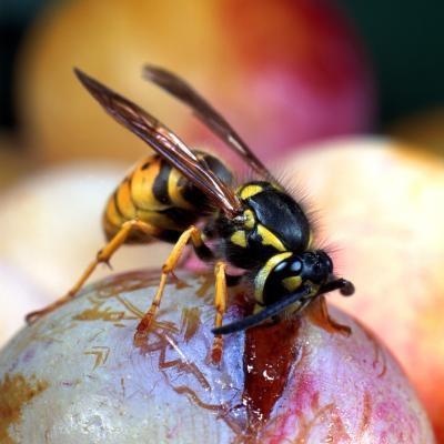 Comment tuer Hornets dans votre maison