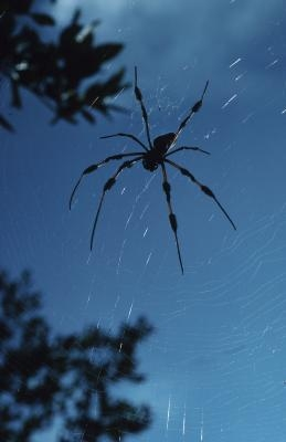 Spiders autochtones à New Jersey