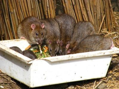 Mangeoires et Rats