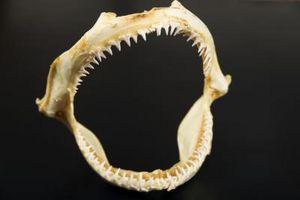 Comment monter des dents de requin