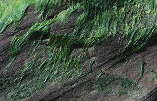Caractéristiques des protistes, Slime et algues