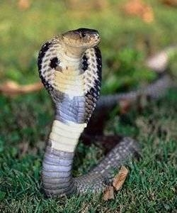 Pourquoi un Cobra a un capot?