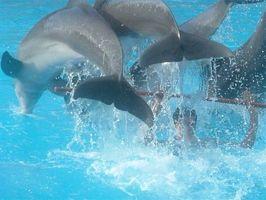 Comment les dauphins Maté?