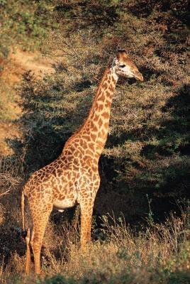 Les caractéristiques de la langue préhensile d'une girafe