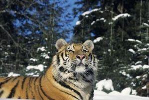 Information sur la pollution des terres et de Sibérie Tigres
