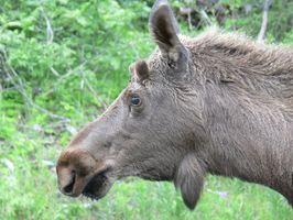 Cadeaux pour Moose Lovers