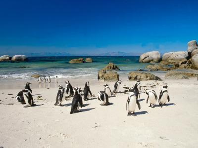 Les facteurs biotiques affectant pingouins africains