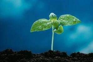 Quelle est la durée de vie d'une plante de concombre?