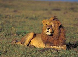 L'anatomie de la structure musculaire d'un Lion