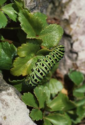 Comment prendre soin d'un noir de machaon Caterpillar