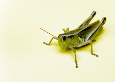 Caractéristiques Ce Grasshoppers & écrevisse Partager