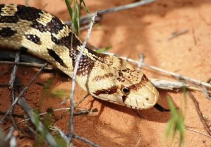 Comment identifier Black & White Snakes dans le Sud-Ouest