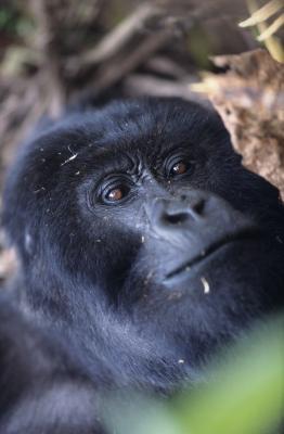 Quels sont les facteurs biotiques du gorille de montagne?