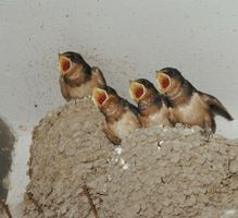 Orphaned Barn Swallow Diets