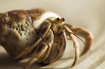 Comment Do sauvage Marine Hermit Crabs Eat?