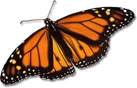 Comment préserver un papillon mort