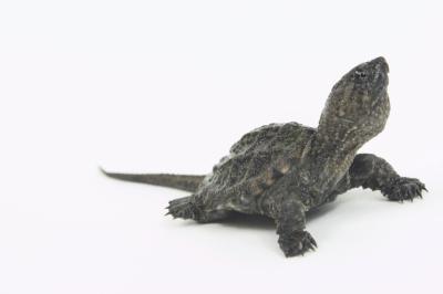 Faits pour les enfants sur les tortues serpentines