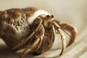 Informations sur le crabe Boxer Hermit