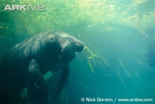 A propos du lamantin amazonien