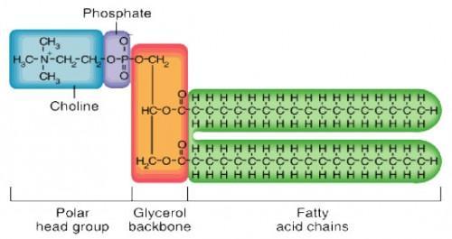 Structure tridermique de la membrane cellulaire