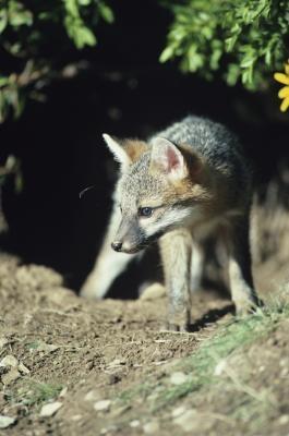 Quels types d'habitats Do Foxes vivre?