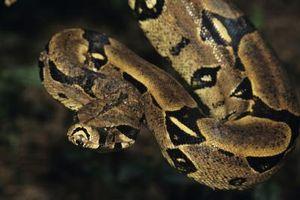 Caractéristiques d'un Boa Constrictor dans le Reptile Uni