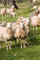 Comment tondre les moutons dans Ultima Online
