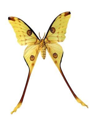 Faits sur le Luna Moth Insecte
