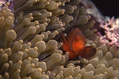 Caractéristiques spécialisées d'un Clownfish