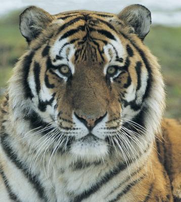 Quels sont certains Menaces pour le tigre de Sibérie?