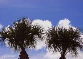 Comment faire pour obtenir la nourriture d'un Palmetto Palm