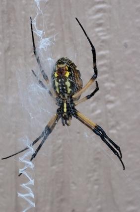 Comment identifier Big Florida Spiders