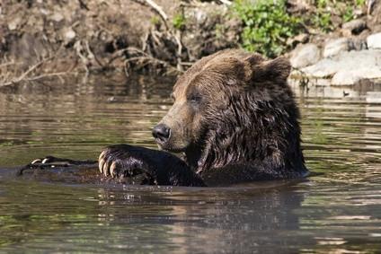 A propos du développement Grizzly Bear physique