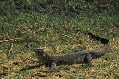 Comment attraper un lézard dans le sauvage