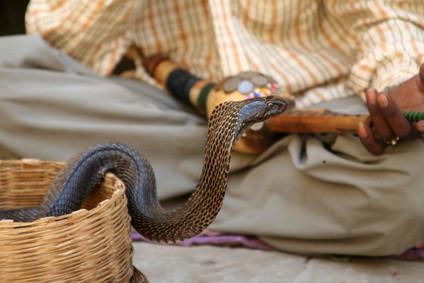 L'habitat du Cobra