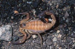 Scorpions en Alabama