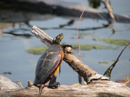 Faits sur les tortues peintes