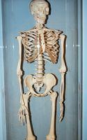 Comment faire pour déterminer un Squelette humain