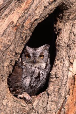 Comment prendre soin de Nesting Screech Owls