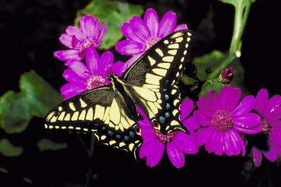 Eastern Tiger Swallowtail Faits