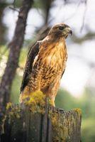 Quel est le plus grand faucon?