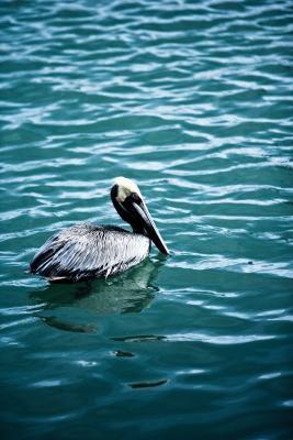 Faits sur le Pélican brun en Californie