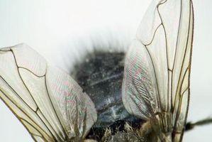 Rôle des gènes Hox chez les humains et les mouches des fruits