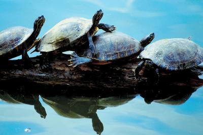 Durée de vie d'une tortue peinte