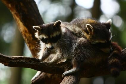 Comment élever bébé Raccoons