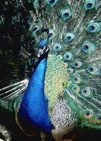Comment construire une zone de nidification pour Peacocks