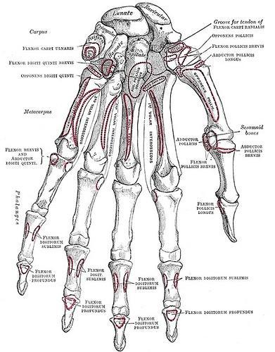 Explication du Système Squelettique