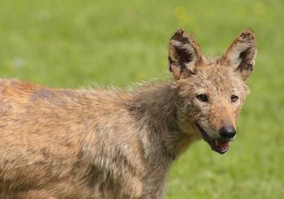 Comment faire des appels personnalisés Coyote
