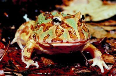 Que font les grenouilles mangent autres que Bugs?