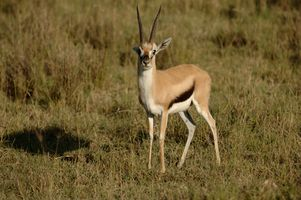 Types Gazelle